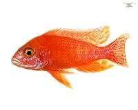 2 x Kaiserbuntbarsch rot - Aulonocara fire fish - DNZ Pärchen