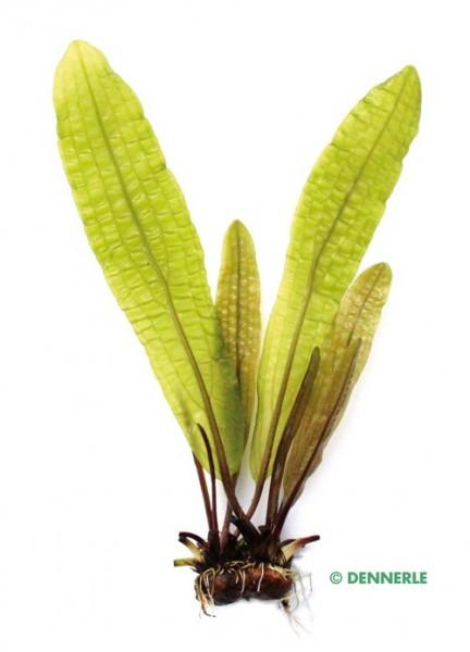 Grosse genoppte Wasserähre - Aponogeton boivinianus - Knolle - Dennerle