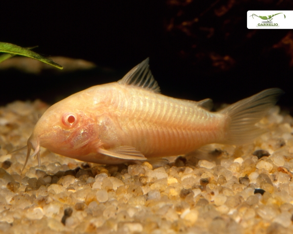 """5x Gefleckter Panzerwels """"albino"""" - Corydoras paleatus """"DNZ"""""""