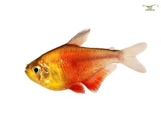 Roter von Rio - Hyphessobrycon flammeus - DNZ