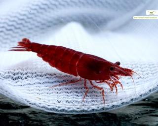 Bloody Mary Garnele - Neocaridina davidi