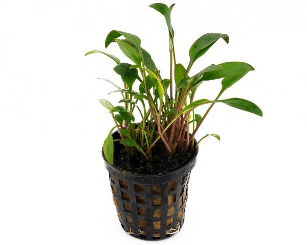 Glänzender Wasserkelch - Cryptocoryne lucens - NatureHolic Plants - Topf
