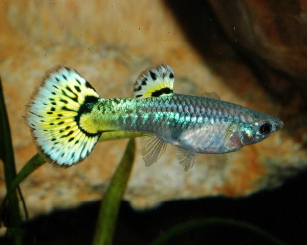 """Guppy Weibchen """"Snake Grün"""" - Poecilia reticulata"""