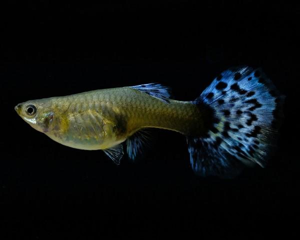 """Guppy Weibchen """"Blau"""" - Poecilia reticulata"""