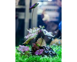 Grüner Tigerlotus - Nymphaea lotus green