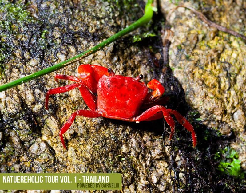 phuket_krabbe_habitat