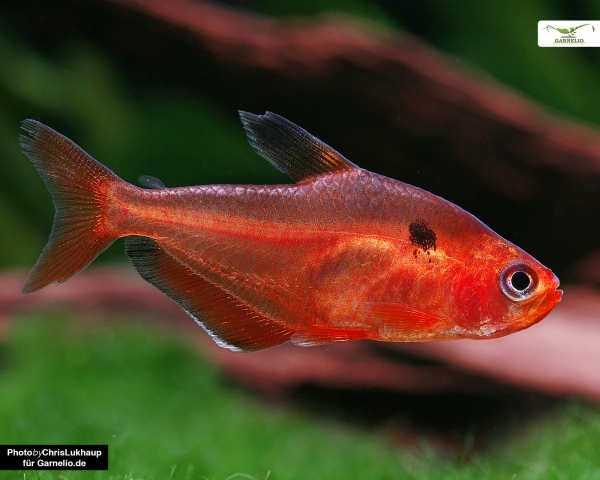 "Blutsalmler ""Extra Rot"" - Hyphessobrycon callistus"