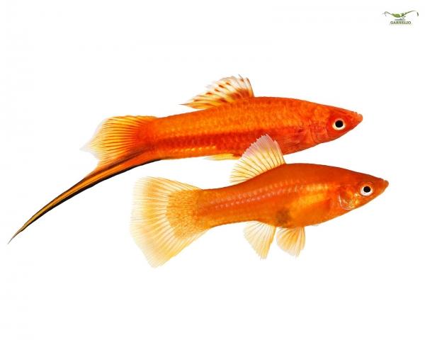 "Schwertträger ""Rot"" - Xiphophorus helleri"