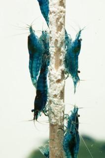 """NatureHolic - Garnelenlutscher """"MineralBoost"""" - Garnelenfutter 1 stk"""