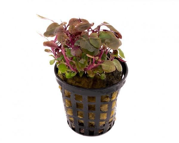 "Zwerg-Kardinalslobelie - Lobelia cardinalis ""mini"" - NatureHolic Plants - Topf"