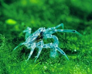 Microkrabbe - Limnopilos naiyanetri