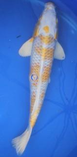 Hariwake 34 cm - Oofuchi -