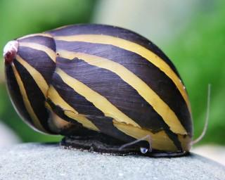 Zebra Rennschnecke - Neritina turrita