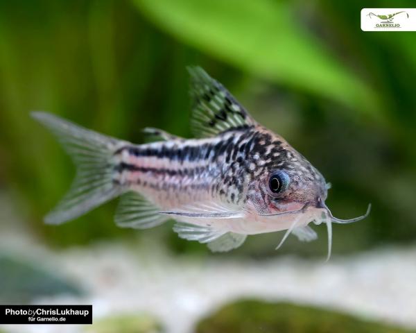 Eleganter Panzerwels - Corydoras elegans