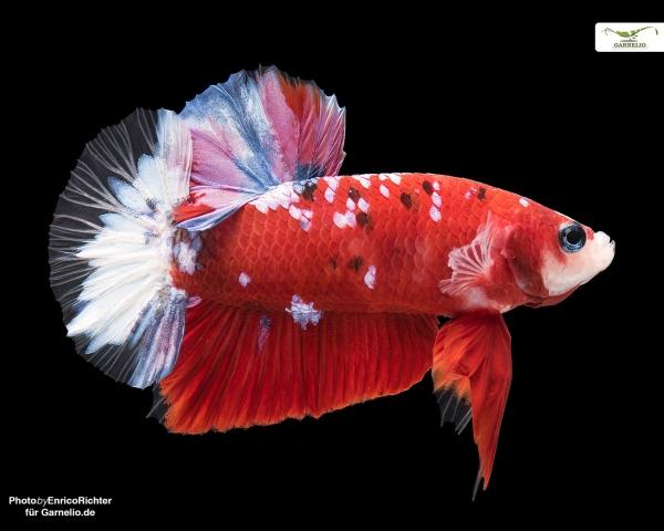 "Kampffisch männlich ""Koi-Plakat"" - Betta splendens"