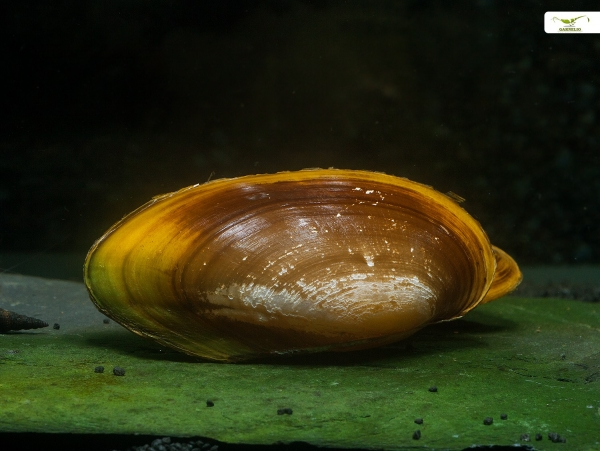 Indische Perlmuschel - Parreysia (Radiatula) pachysoma