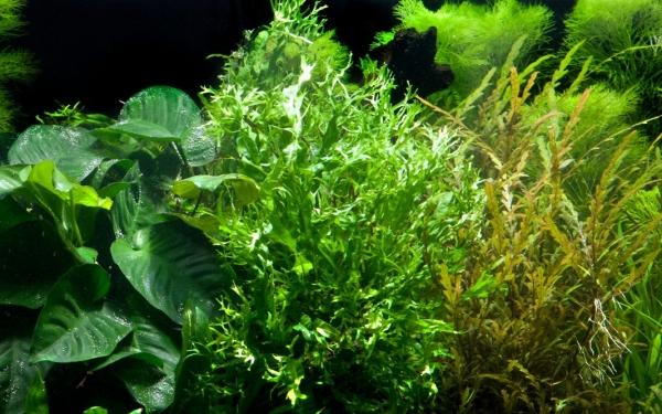 Windeløv-Javafarn - Microsorum pteropus 'Windeløv' - Tropica Pflanze auf Wurzeln mit Saugnapf