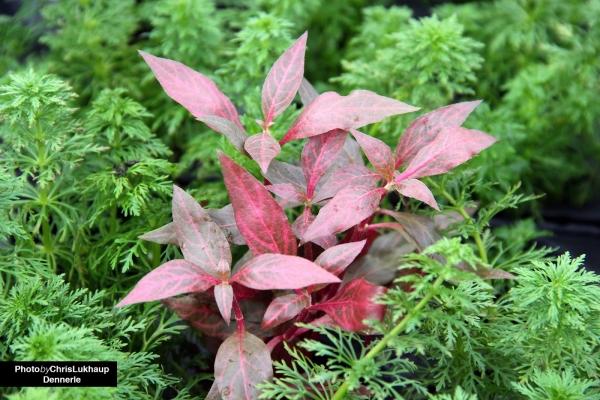 """Red Ruby Papageienblatt - Alternanthera reineckii """"Red Ruby"""" - Dennerle Topf"""