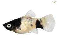 Panda Platy - Xiphophorus maculatus