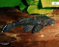 L181 Tüpfelantennenwels - Ancistrus sp. - DNZ 4cm