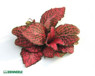 Rotbunte Fittonie - Fittonia verschaffeltii - Dennerle Topf