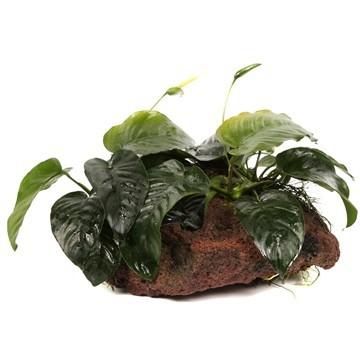 Anubias barteri sp. - Tropica Pflanze auf Lavastein (XL)