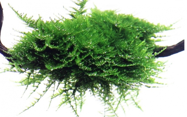 "Weihnachtsbaummoos - Vesicularia montagnei ""Christmas Moss"" - Tropica Pflanze auf Wurzeln"