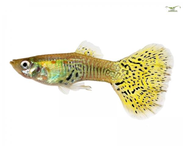 """5 x Guppy männlich """"Cobra Green"""" - Poecilia reticulata"""
