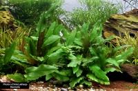 Grüner Wasserkelch - Cryptocoryne wendtii grün - Dennerle Topf