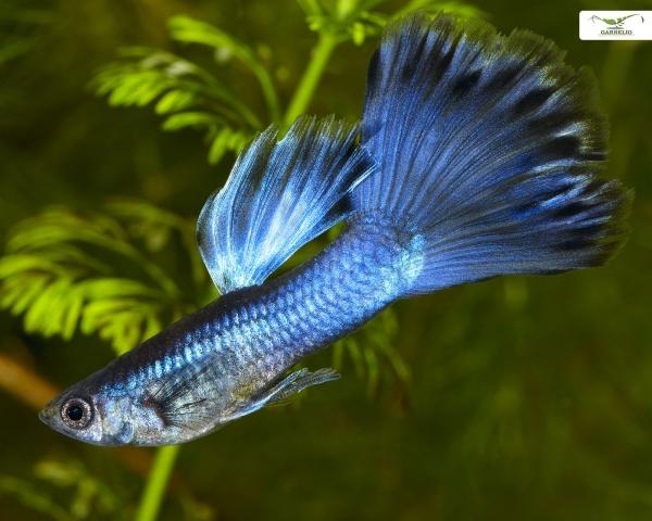 "Guppy männlich ""blue moskau"" - Poecilia reticulata"