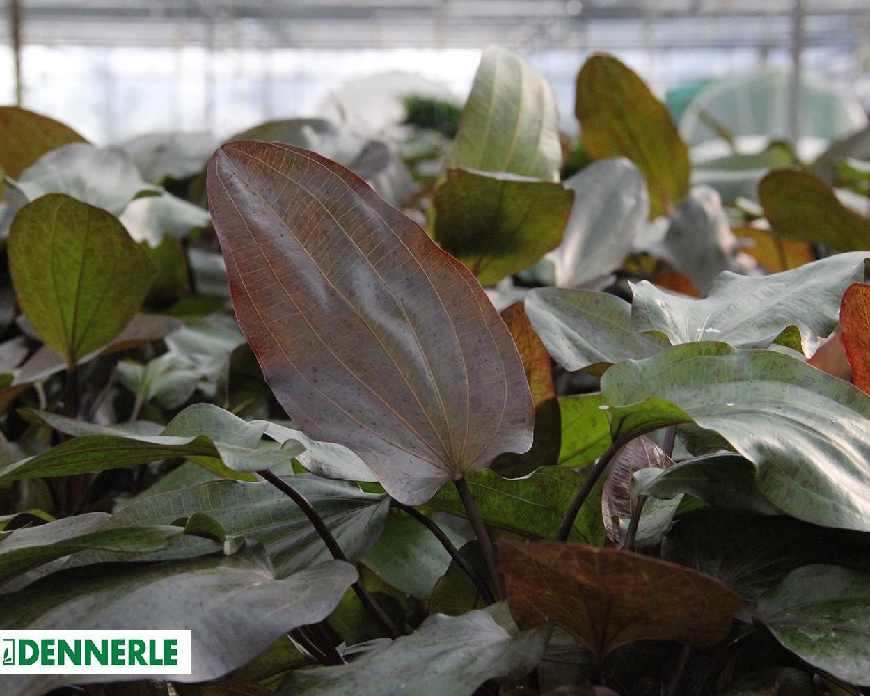 ozelot froschl ffel echinodorus ozelot dennerle topf hintergrundpflanze aquariumpflanzen. Black Bedroom Furniture Sets. Home Design Ideas