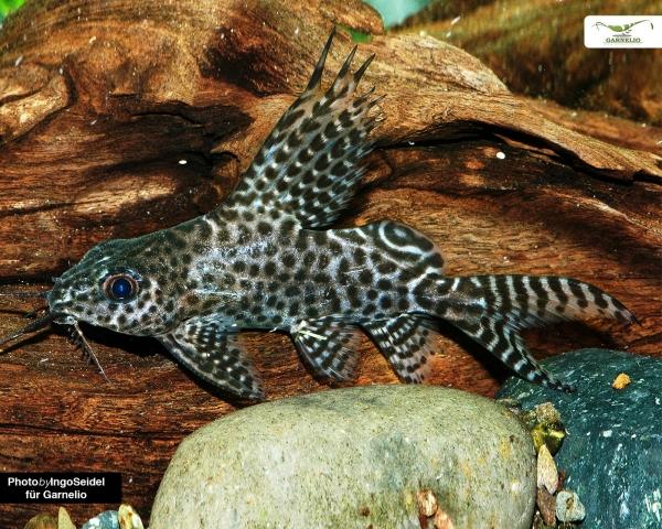 Kamerun Fiederbartwels - Synodontis velifer - 4cm