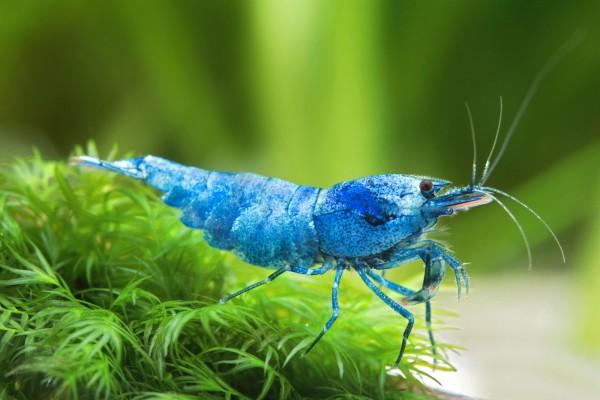 Blue Bolt Garnele - Taiwan Garnele - Shadow Bee - Caridina sp.