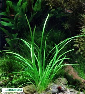 Zwergpfeilkraut - Sagittaria pusilla - Dennerle Topf