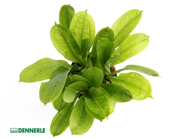 Samolus Schwertpflanze - Echinodorus grisebachii Tropica - Dennerle Topf