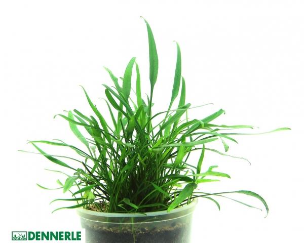Schmalblättriger Nevelli - Wasserkelch - Cryptocoryne lucens - Dennerle Topf