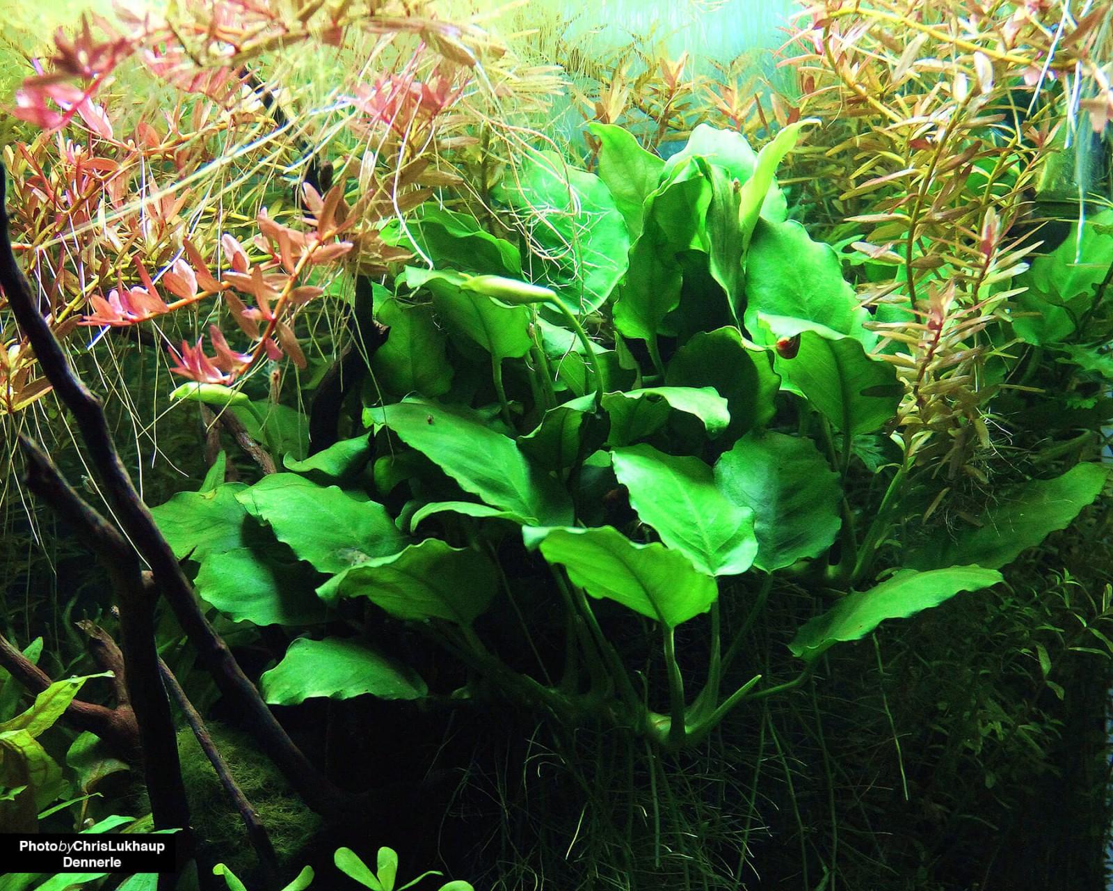 Anubias Pflanzen Im Aquarium Terrarium Arten Pflege