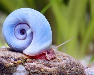 Avatar Posthornschnecke - Planorbella duryi duryi ( Blaue PHS )