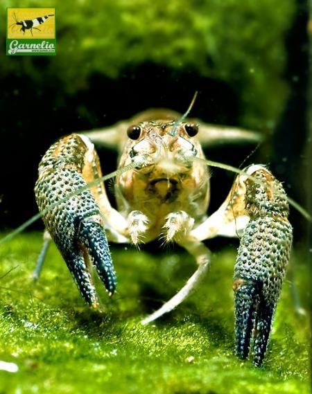 Procambarus vasquezae