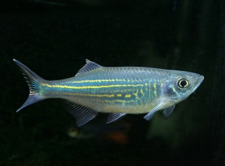 Malabarbärbling - Danio malabaricus