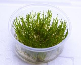 Flammenmoos - Taxiphyllum sp., InVitro Becher