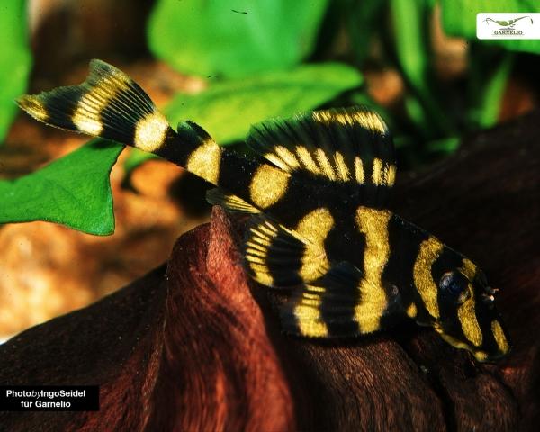 Butterfly Pleco - L168 - Zonancistrus brachyurus - DNZ