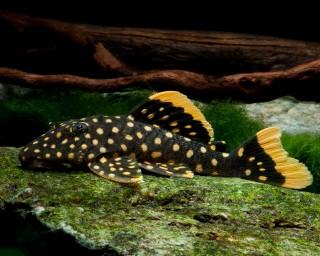 L177 - Baryancistrus sp. - 6-8cm
