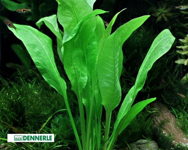 Grosse Amazonas - Schwertpflanze - Echinodorus bleheri – Dennerle Topf