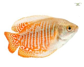 2x Zwergfadenfisch - Trichogaster lalius - Pärchen