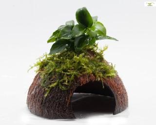 Bonsai Moos Höhle / Coco Shell - Kokosnuss mit Christmasmoos & Bonsai Speerblatt
