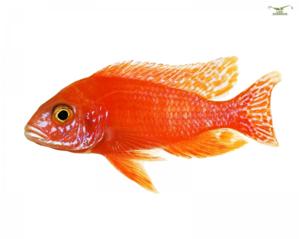 3x Kaiserbuntbarsch rot - Aulonocara fire fish - TRIO (1m/2w) DNZ
