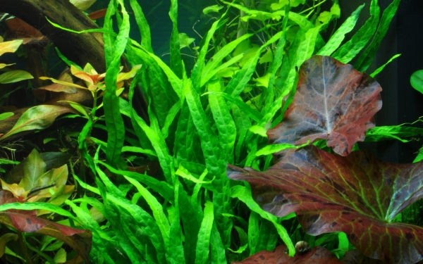 Schmalblättriger Javafarn - Microsorum pteropus 'Narrow' - Tropica Topf