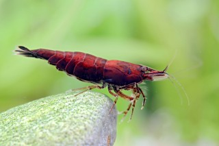 Red Onyx Garnele - Neocaridina davidi