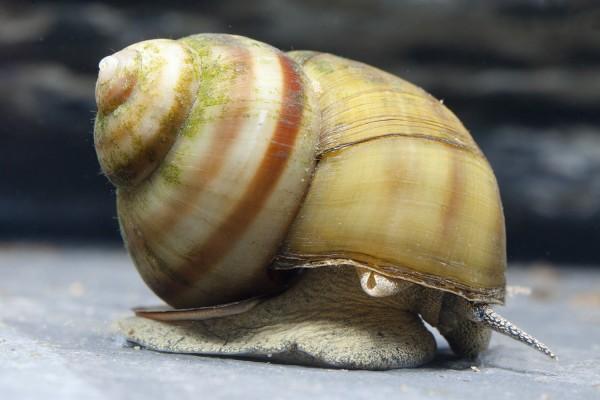 Sumpfdeckelschnecke - Viviparus viviparus